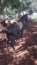 Cavalo de 5 anos manso para qualquer pessoa andar