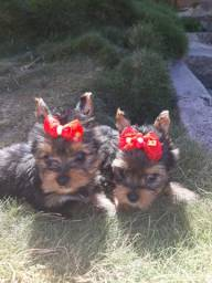 Vende se Yorshire Terrier