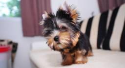 Yorkshire Terrier com Pedigree