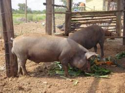 Vende se Porco barato