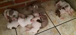 Filhotes de pitbull rednose