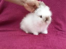 Mini coelho da raça mini angorá