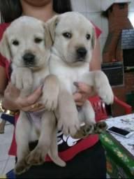 Filhotes de Labrador Champanhe