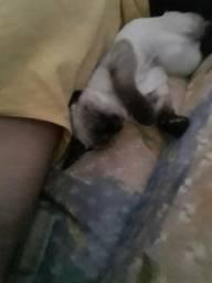 Gato ciamês puro (doa-se)