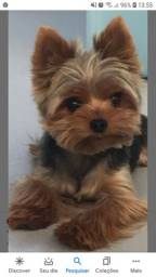Alguém tem yorkshire pra doar pra minha filha ela adora cachorro