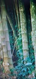 Resto de bambu que eu achei no mato