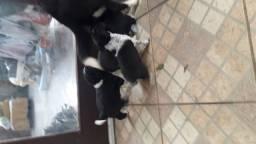 Filhotes de border collie