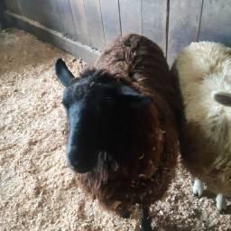Barbada carneiro capado