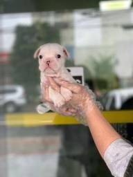 Bulldog Francês 18 clínicas espalhadas em SP *11.9.6425-8014 Alexandre