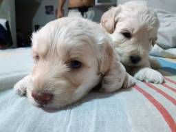 Filhote poodle maltês