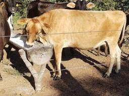Vacas Jersey leiteira