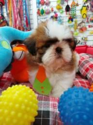 SHIHTZU TRCOLOR AQUI NO PET GOLD DOG