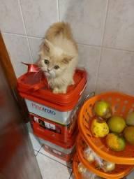 Gato persa filhote macho