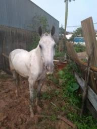 Vendo um uma genuína de macha picada6 anos prenha de cavalo registrado top