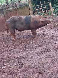 Cachaço, porco, leitao...