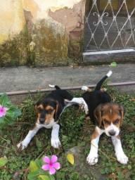 Beagle com Foxhound