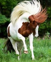 Potra paint horse 3 anos