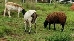 Ovelhas carneiras