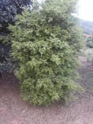 Plantas frutíferas tem 1 pe produzindo