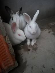 Vendo coelho