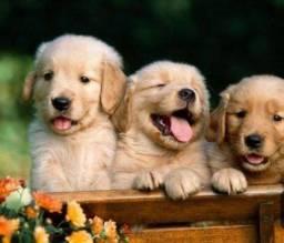 Filhotes de Golden Retriever Recibo Garantia Pedigree