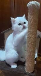 Gato persa adulto  quero adotar.