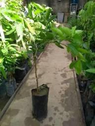 Plantas de Citricos xertado