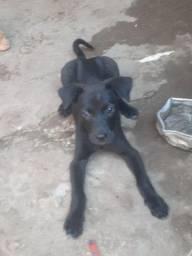 Labrador filhote com 1mês  e duas semanas