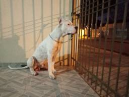 COBERTURA DOGO ARGENTINO