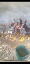 Vende-se frango caipira