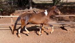 Cavalo Campolina 3 anos e meio - Marchador - Castanho Pampa