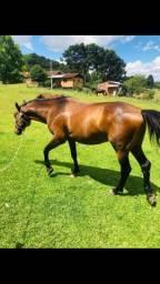 Vendo cavalo qm