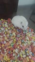 Hamster anão russo e sirio
