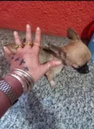 PROMOÇÃO HOJE Chihuahua Micro