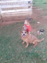 Cachorro red hiller