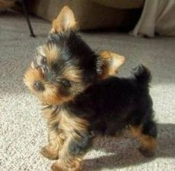 Macho mini Yorkshire Terrier Filhote Pedigree Vacinado Garantia de saúde!!!