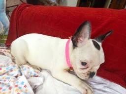 Bulldog francês Fêmea excelente linhagem genética