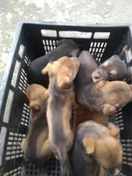 Doação filhotes de Pitbull com rottweiler
