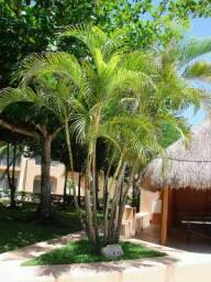Palmeira Areca Bambu