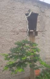 Belos exemplares de bonsai. Espécie; pitecolobium tortum.