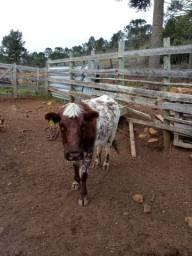 Vaca de cria