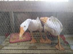 Casal de gansos jovem