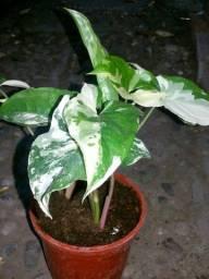 Planta ornamental (singonio variegata)