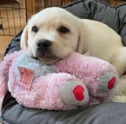 Labrador - Macho e Fêmea, venha nos conhecer!