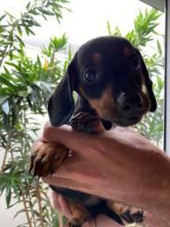 Basset dachshund fêmea