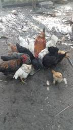 Vendo frangos e galinhas caipiras