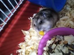 Hamster anão russo junto com gaiola e acessórios