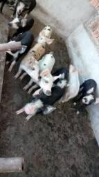 Porquinhos com 02 meses