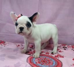 Pra sair este fim de semana filhote de bulldogue francês fêmea branca e preta