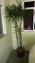 Planta palmeira ráfia 2.30m
